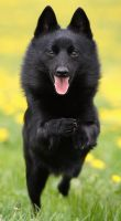 Schipperke In Action by nele102