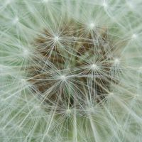 Dandelion II by 101gleek101
