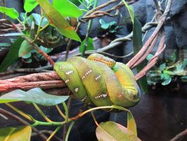 Emerald Tree Boa by Bella-Blue