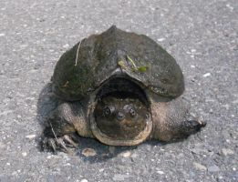 Why Did The Snapping Turtle Cross The Road? a by Wilcox660