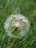 Macro Dandelion by Cat-in-the-Stock