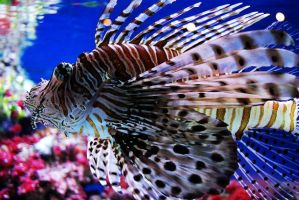 Pterois volitans by vollyy