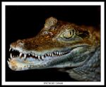 Spectacled Caiman by Dr-Koesters