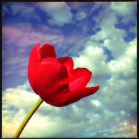 Tulip against the sky by ahley
