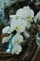 orchids floriade 26 by ingeline-art