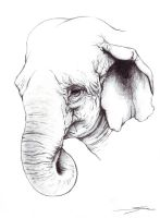 Indian Elephant pencil by Eenuh