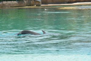 Nassau, Dolphin Interaction Showing Back 2 by Miss-Tbones