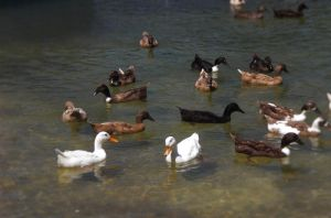 Grande Island:Ducks by Noah0207