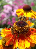 Two bees on a sunflower by TinyWild