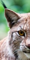 Lynx8 by PictureByPali