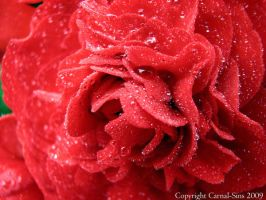Red Tuberous Begonia VII by thriftyredhead