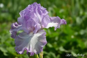 For the Love of Irises V by Scooby777
