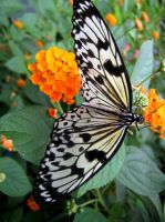 Butterfly 6 by iriscup