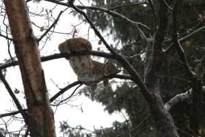 Lynx on the tree 3 by Tigerlover4