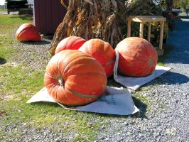 Giant Pumpkins 4 by FairieGoodMother