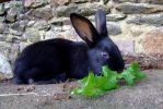 Baby black rabbit by CelticWarBoy