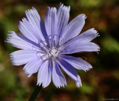 My Chicory Flower Home by natureguy