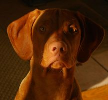 Vizsla by JennBowers
