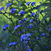 forget-me-not 2 by Iridescent-happinesS