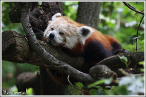 An asleep Red Panda 01 by medlinniel