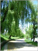 Willows in Plumbuita by Iuliaq