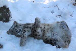 Snow Leopard Stock 42: Playing by HOTNStock