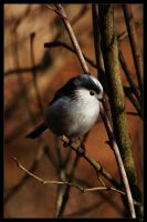 long tailed tit by netbandit