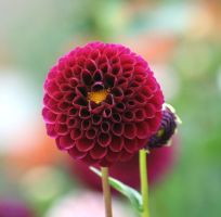 dahlias cologne 4 by ingeline-art