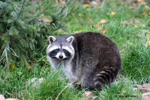 Raccon / Waschbaer 4 by bluesgrass