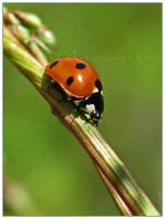 'Coccinella' by WaitingForTheWorms
