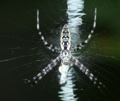 another Argiope aurantia....young by duggiehoo