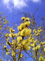 Goat Willow 3 by DenyG