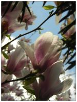 In bloom - magnolia by bwanot