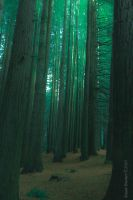 The Redwoods by Daan-NL
