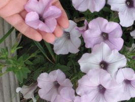 Petunias basking in warmth by Critterinthedryer