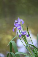 Iris by the pond by CASPER1830