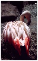Nesting Flamingo by Bella-Blue