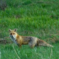 A Fox from Saturday by bojar