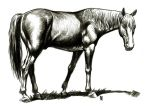 horse ink study by bordon