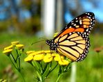 Monarch butterfly by sweatangel