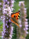 Small Tortoiseshell by grandma-S