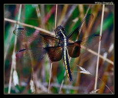 Widow Dragonfly 08 by boron