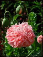 Pink Poppy by maska13