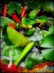 Leaves of Water lilies by vojis