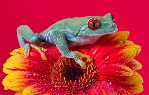 Red Eyed tree frog by mansaards