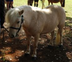 palomino shetland pony mare standing by tbg-stock-images