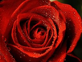 Droplets on a Rose by jmarie1210