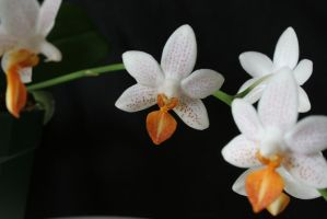 Orchidy Orchids by entropy462