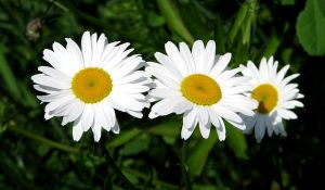 Daisies by 1000--Words