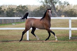 GE Arab rosegrey trot side view looking at camera by Chunga-Stock